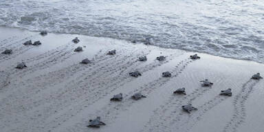 Brasilien Schildkrötenbabys