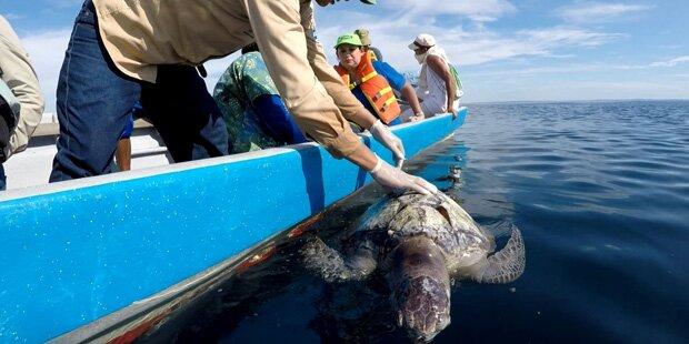Rätsel um Hunderte tote Schildkröten im Meer