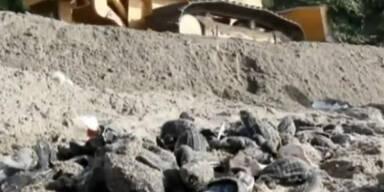 Bulldozer töten 20.000 Baby-Schildkröten