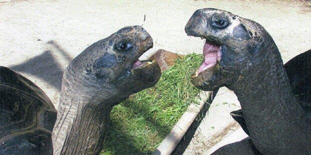 Schmuggler mit 2.700 Schildkröten gefasst