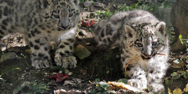 Die Schneeleoparden heißen Somu und Arun