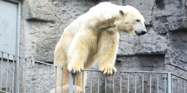 2014 kommen Eisbären nach Wien zurück