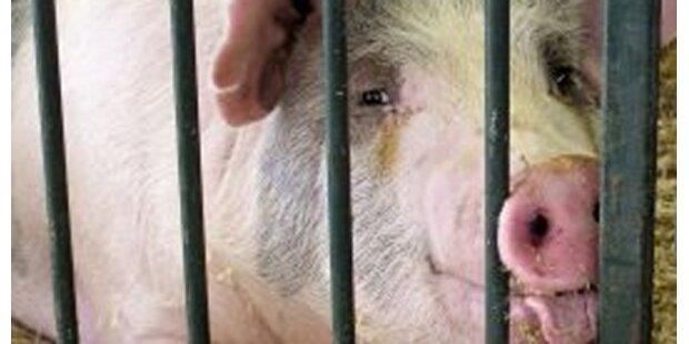 Zehn Jahre Haft für gestohlenes Schwein