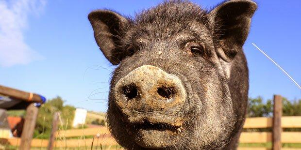 Schweine müssen Tempel in Thailand verlassen