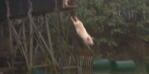 Schweine springen von 3m Turm ins Wasser