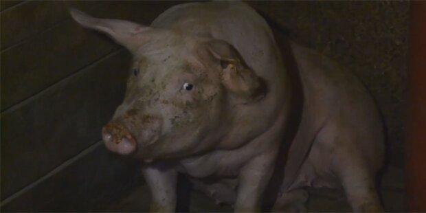 Horror-Schweinestall in NÖ aufgeflogen