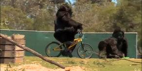 Gorillas menschlich wie nie!