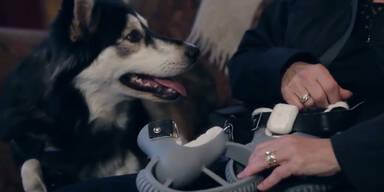 Unglaublich: Hund mit 3D-Prothese