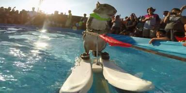 Wasserskifahrendes  Eichhörnchen