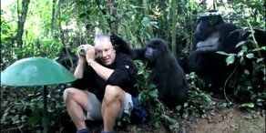 Gorillas relaxen mit Tierfilmer!