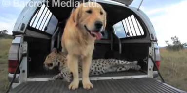 Seltene Romanze: Leopard liebt Hund!