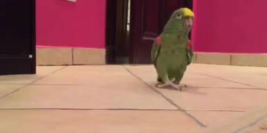 Irrer Papagei als fies lachender Bösewicht