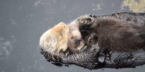 Otter-Mutter kümmert sich rührend im ihr Kleines