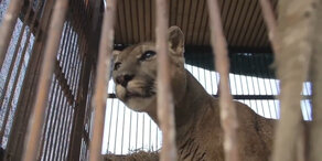 Hier spürt Löwe 'Mufassa' das erste Mal Gras!