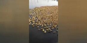 5000 Entenküken auf dem Weg ins kühle Nass