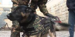 Russische Polizei setzt auf kugelsichere Westen für Hunde