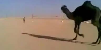 Dromedar jagt Arbeiter durch die Wüste