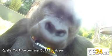 Gorilla filmt sich selbst beim Naschen