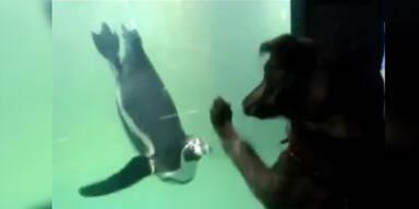 Süß: Hund will mit Pinguin spielen