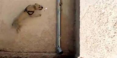 Hund springt Wände senkrecht hinauf