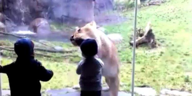 Gefährlich, aber lustig: Löwe spielt mit Junge