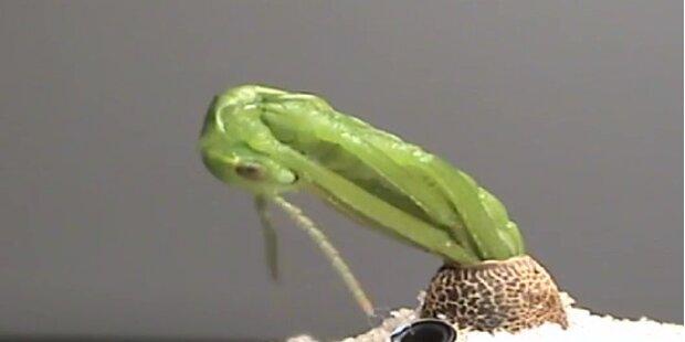 Geburt des seltensten Insekts der Welt