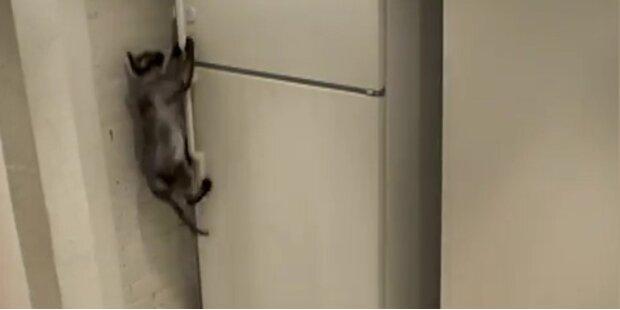 Hungriger Kater öffnet selbst den Kühlschrank