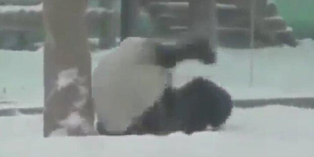 Pandabär schlägt Purzelbäume im Schnee