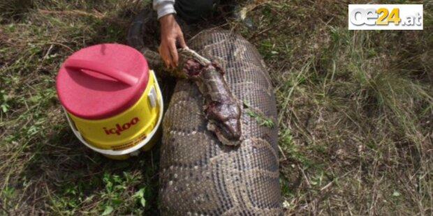 5m Python hat 35-Kilo Hirsch gefressen