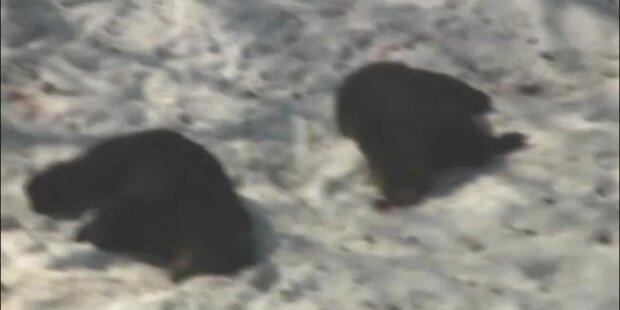 Ausgebrochene Bären töten zwei Frauen