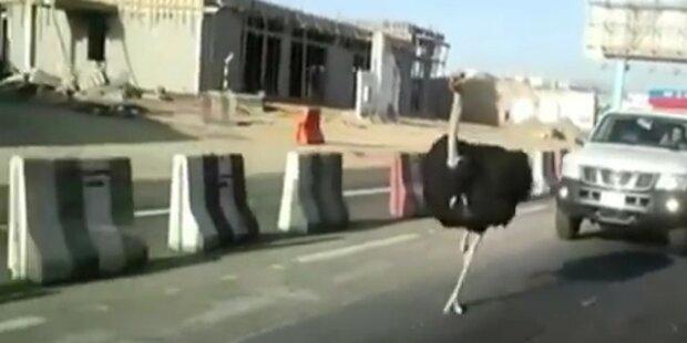 Vogel Strauß überholt Autos auf Autobahn