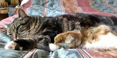 Küken kuschelt mit Katze