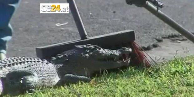 Krokodil verursacht Panik im Morgenverkehr