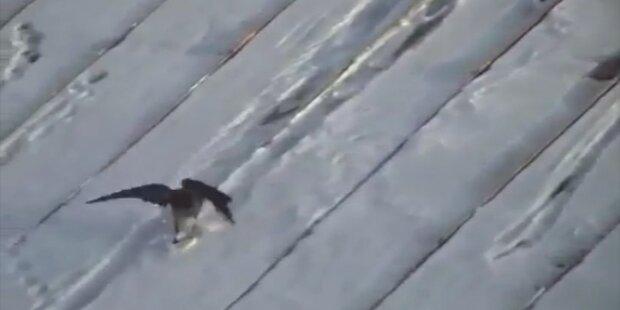 Unglaublich: Krähe beim Snowboarden gefilmt