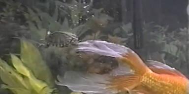 Schildkröte reist per Anhalter durchs Aquarium