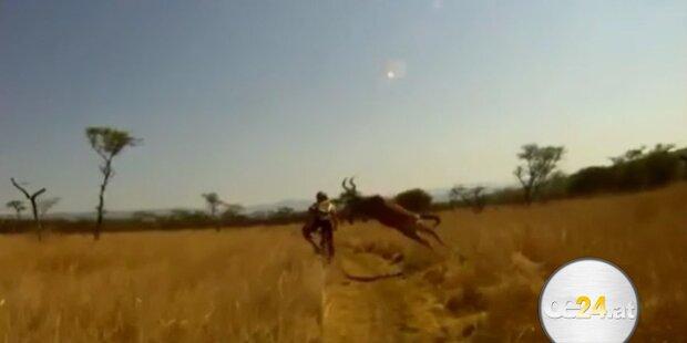 200kg Antilope rammt Mountainbiker