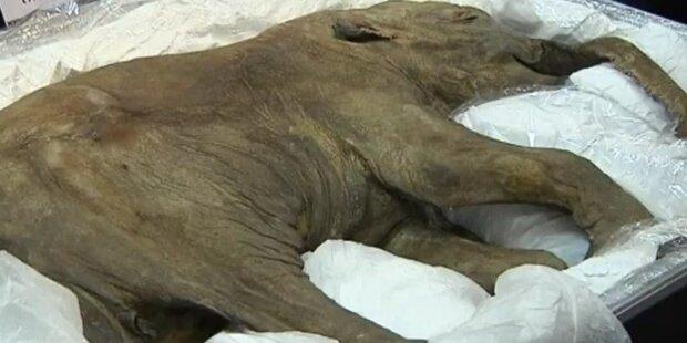 42.000 Jahre altes Mammut-Baby gefunden