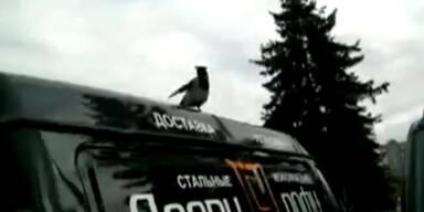 Russland: Krähe glaubt sie ist ein Hahn