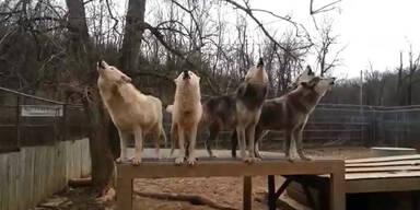 Wolfsrudel zeigt gesangliches Talent