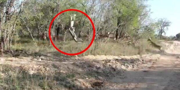 Wahnsinn: Raubkatze reisst eine Antilope