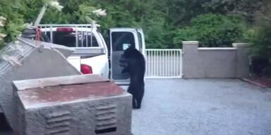 Schwarzbär verhält sich unheimlich menschlich