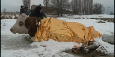 Kuh beim trinken auf Weide festgefroren