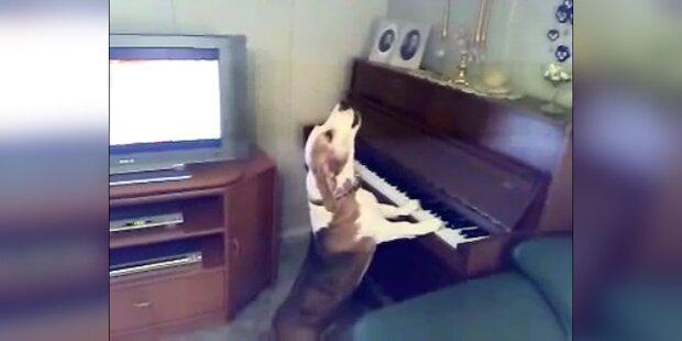 Hund spielt am Klavier und singt