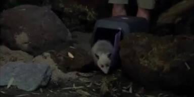 Heidi-Opossum zieht um