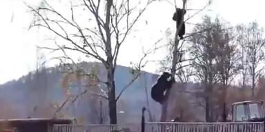 Russland: Bär jagt Mann auf Baum