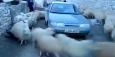 Rasende Schafe umkreisen Autofahrer