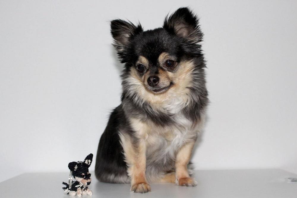 Shiva Chihuahua - Adv - Testimonial