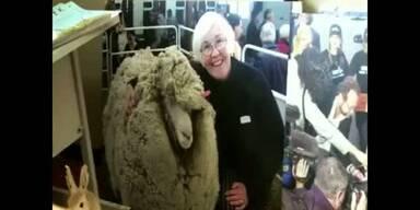 Shrek das Schaf ist tot
