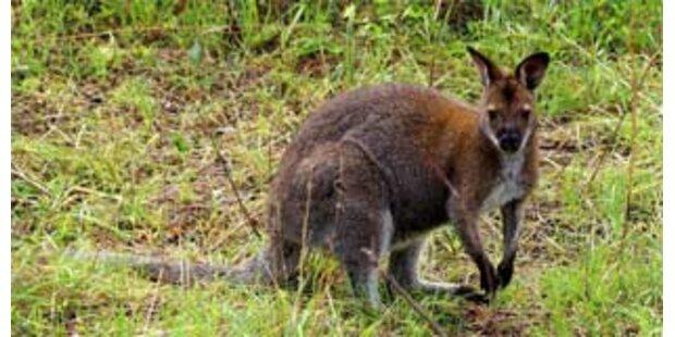 Känguru hielt deutsche Polizisten auf Trab