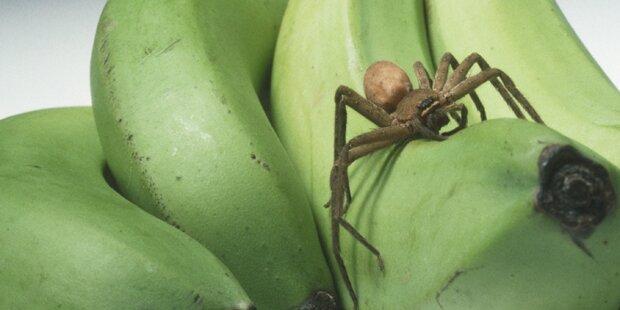 Hochgiftige Spinne versteckte sich in Bio-Laden
